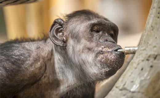 Chimpansees krijgen knuffelmuur van Climatrix in ZOO Antwerpen