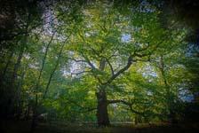 Mooiste boom van Vlaanderen staat in Overpelt