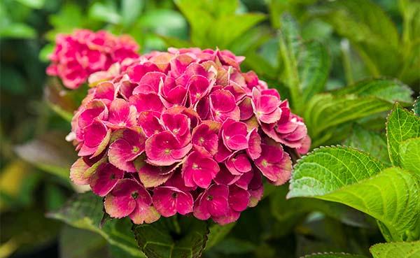 Nieuwe-kleuren-in-de-tuin-met-Magical-hortensias