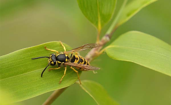 Een wespennest verwijderen: waarom zou je een specialist inschakelen?