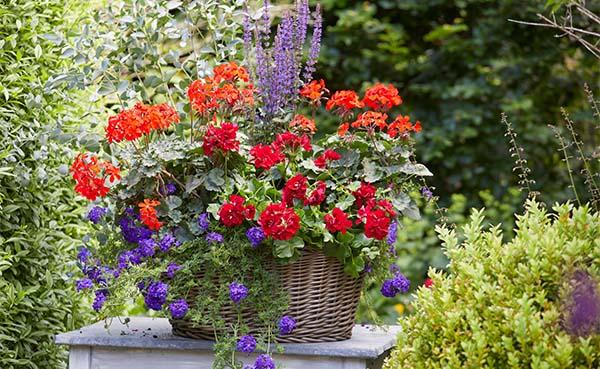 Geranium-vol-kleur-en-geur-genieten-op-balkon-en-terras