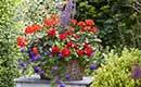 Geranium vol kleur en geur, genieten op balkon en terras